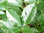 aucuba-japonica-crassifolia-150x112