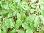 aucuba-japonica-dentata-150x112