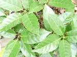 aucuba-japonica-viridis-150x112